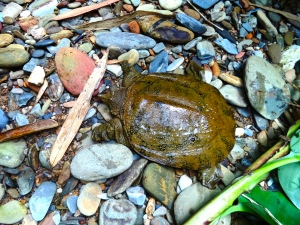 Wattle-necked soft-shell turtle