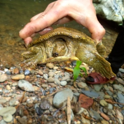 Wattle-necked soft-shell turtle