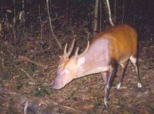 Large-antlered muntjac camera trap photo