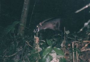 Saola camera trap photo