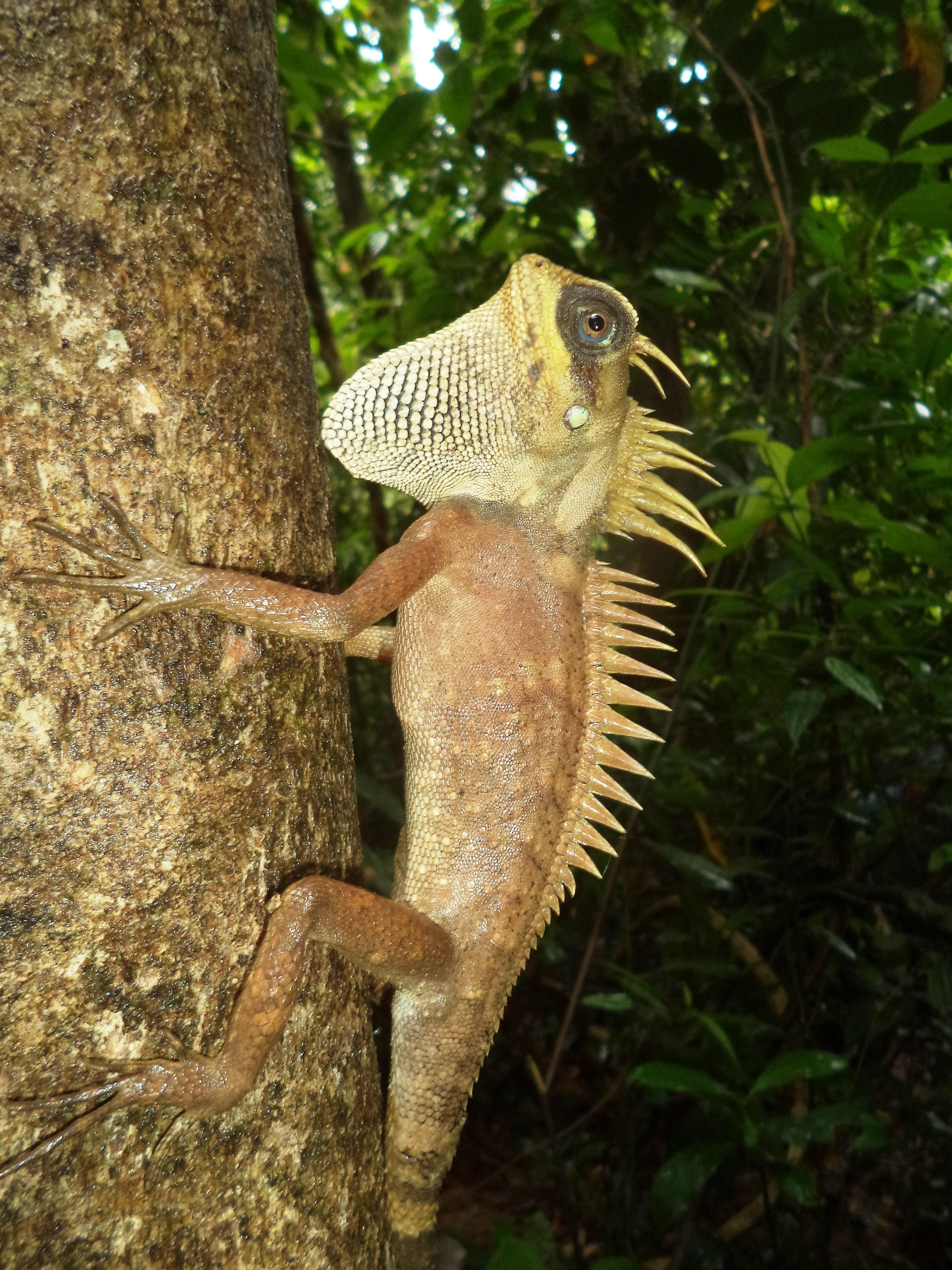 Small forest lizard