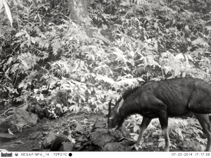 Serow camera trap photo