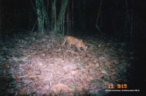 Asian golden cat camera trap photo