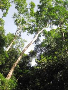 Tall trees indicate primary forest
