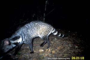 Large Indian civet camera trap photo