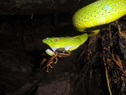 Pit viper with frog