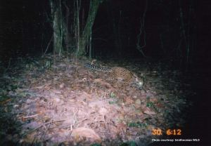 Marbled cat camera trap photo
