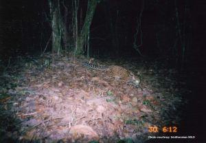 Marbled cat camera trap photo