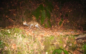 Leopard cat camera trap photo
