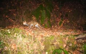 Leopard cat camera trap photo