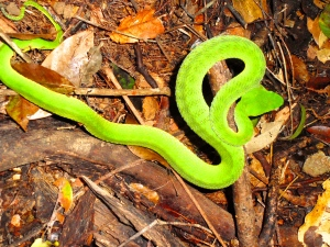 Adult emerald pit viper