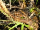 Camouflaged pit viper