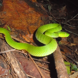 Emerald pit viper