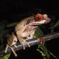 Red-eyed frog in Quang Nam SNR