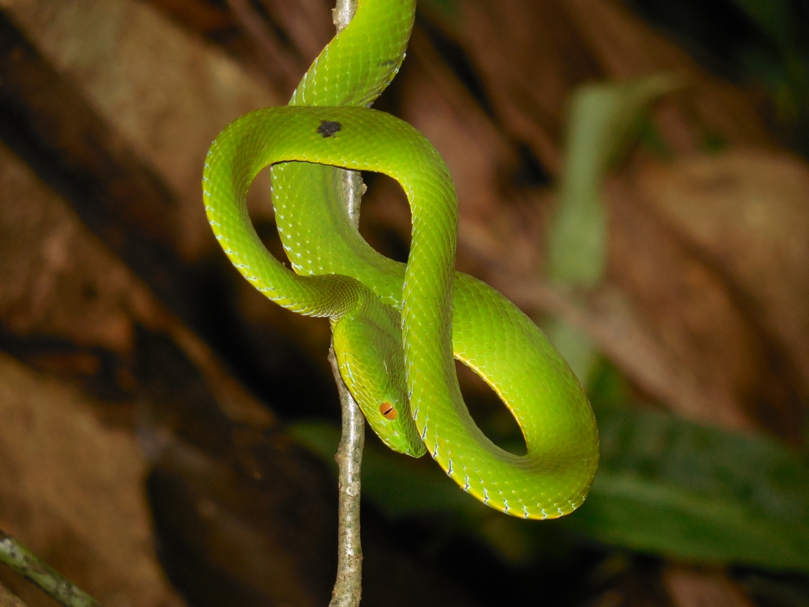 Emerald pit viper from Xe Sap