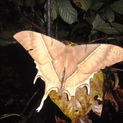 Giant moth at night