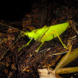 Katydid at night