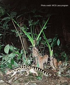 Camera trap photo of spotted linsang
