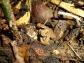 Mock pit viper in Pu Mat