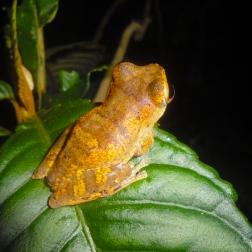 Frog in Quang Nam SNR