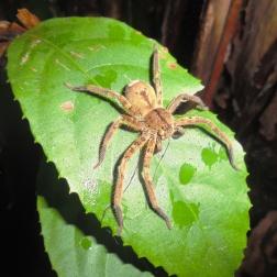 Spider hunting at night