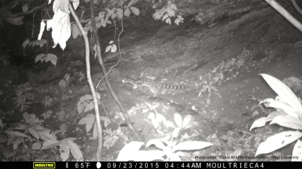 Spotted linsang caught on camera trap