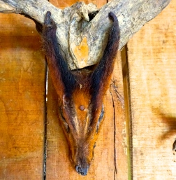 Muntjac trophy hanging in Katu hut