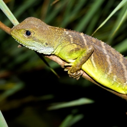 Lizard from Xe Sap