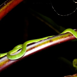 Pit viper at night in Xe Sap