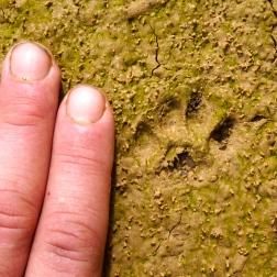 Civet print in Laos