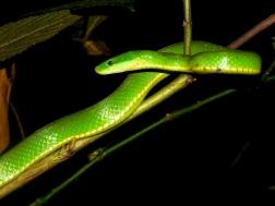 Snake in Xe Sap