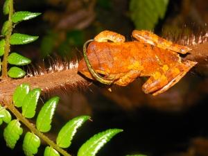 Leech on frog