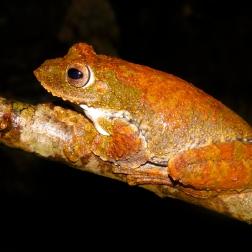 Treefrog in Xe Sap