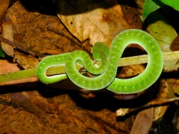 Coiled emerald pit viper in Xe Sap