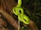 Emerald pit viper in Xe Sap