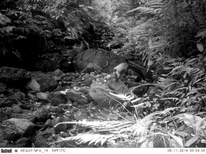 Camera trap photo of a yellow-throated marten