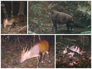 Endemic Annamite mammals caught on camera