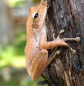 Treefrog in Bach Ma NP