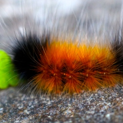 Wooly caterpillar