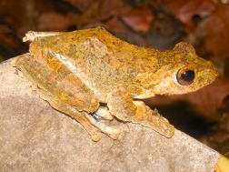 Treefrog from Xe Sap