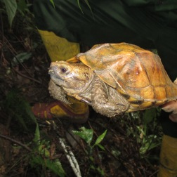 Turtle from central VN