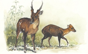 Large-antlered and dark muntjacs.  Illustration by Joyce Powzyck