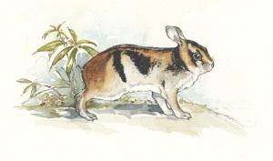 Annamite striped rabbit. Illustration by Joyce Powzyck