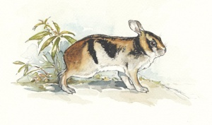 Annamite striped rabbit. Illustration by Joyce Powzyck