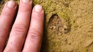 Fresh muntjac tracks in Xe Sap