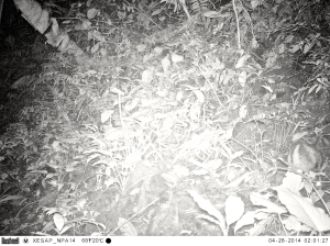 Striped rabbit caught on camera