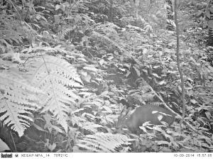 Dark muntjac camera trap photo