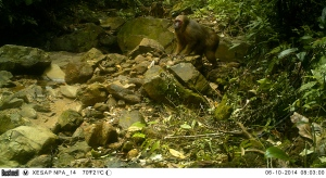 Mature male stump-tailed macaque