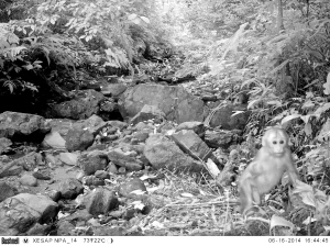Baby stump-tailed macaque camera trap photo