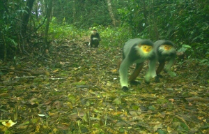 Red-shanked douc caught on camera trap